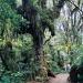 леснасклонахКилиманджаро.