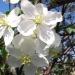 Яблонявцвету