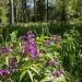 Лесблагоухаетцветами.СклонМалиновой