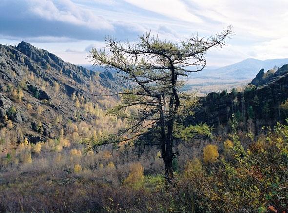 лиственница на склоне, недалеко от скалы Огурец.