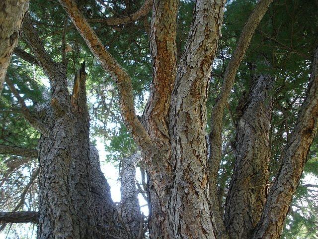 Кужановские реликтовые лиственницы