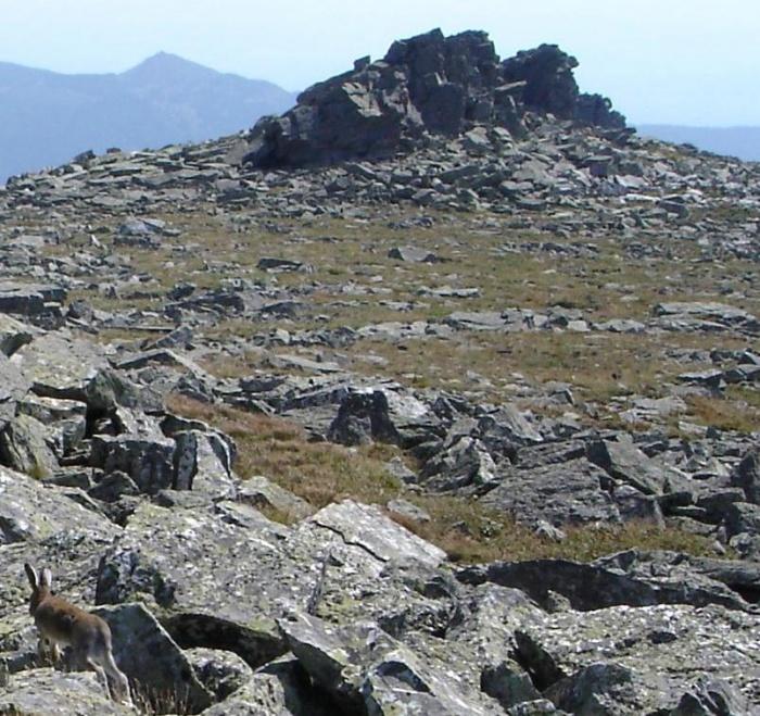 Заяц на вершинном плато г. Б. Иремель