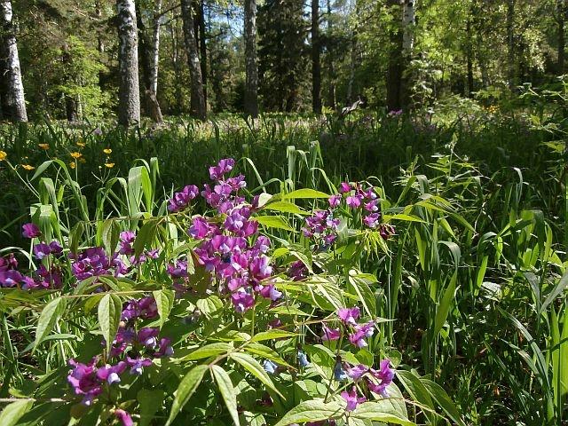Лес благоухает цветами. Склон Малиновой