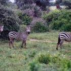 Зебры.