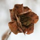 Зимний цветок