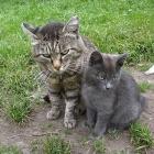 Алтайские коты настолько суровы....