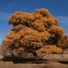 Кужановские лиственницы в октябре