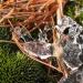 Ледянойбашмачок