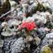 Каменныйцветок
