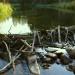 Бобровая плотинка на Сахарном Плёсе.