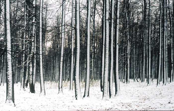 Лес под первым снегом