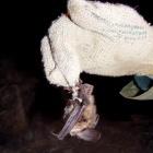Дрессура летучей мыши