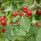 Волчьи ягодки