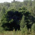 Кужановские лиственницы