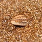 Ракушка в песке